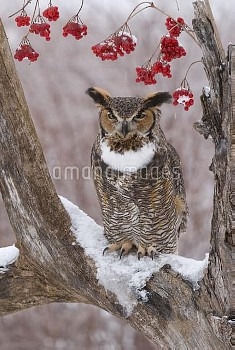 Great Horned Owl (Bubo virginianus) in winter, Howell Nature Center, Michigan