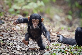 Chimpanzee (Pan troglodytes) young displaying, Mahale Mountains National Park, Tanzania
