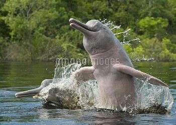 Amazon River Dolphin (Inia geoffrensis) pair jumping, Ariau River, Brazil
