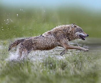 Gray Wolf (Canis lupus) running through water, native to North America