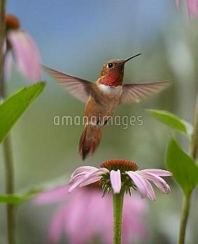 Rufous Hummingbird (Selasphorus rufus) male feeding on flower nectar