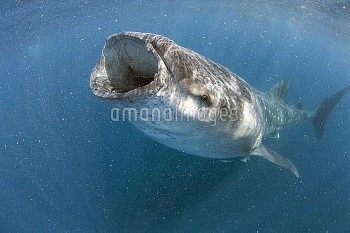 Whale Shark (Rhincodon typus) feeding on plankton, Isla Mujeres, Quintana Roo, Yucatan, Mexico