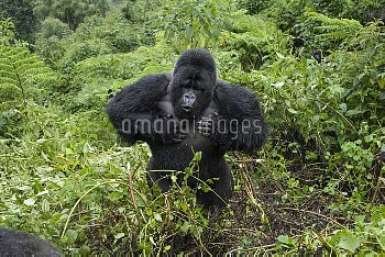 Mountain Gorilla (Gorilla gorilla beringei) silverback beating chest, Parc National des Volcans, Rwa