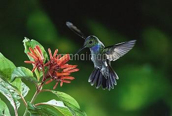 Blue-chested Hummingbird (Amazilia amabilis) feeding on nectar from flowers (Hamelia sp) rainforests