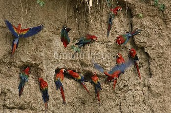 Scarlet Macaw (Ara macao) and Red and Green Macaw (Ara chloroptera) flocks feeding on clay lick mine