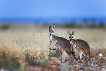 Red Kangaroo (Macropus rufus) female with two babies, Sturt National Park, Australia