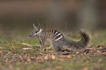 Numbat (Myrmecobius fasciatus), Australia