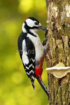 Great Spotted Woodpecker (Dendrocopos major) making a nest hole in a tree trunk, Netherlands