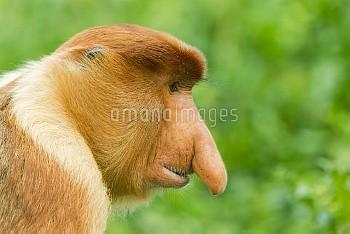 Proboscis Monkey (Nasalis larvatus) male, Sabah, Borneo, Malaysia