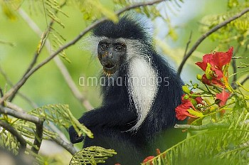 Peters's Angola Colobus (Colobus angolensis palliatus) covered in pollen, native to Africa
