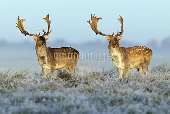 Fallow Deer (Dama dama) bucks in frosty field in autumn, Denmark
