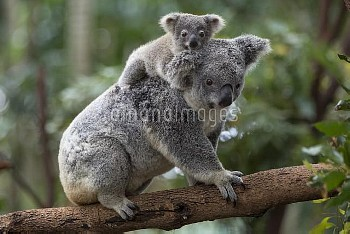Koala (Phascolarctos cinereus) eight-month-old joey on mother's back, Queensland, Australia