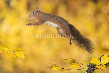 Eurasian Red Squirrel (Sciurus vulgaris) leaping, Hof van Twente, Netherlands