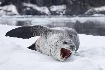 Leopard Seal (Hydrurga leptonyx) in calling, Paradise Bay, Antarctic Peninsula, Antarctica