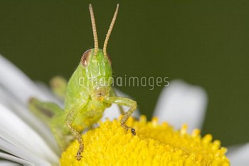 Pygmy Grasshopper (Tetrigidae) covered in pollen, Nova Scotia, Canada