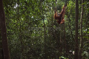Sumatran Orangutan (Pongo abelii) twenty-six year old male, named Halik, in tree, Gunung Leuser Nati