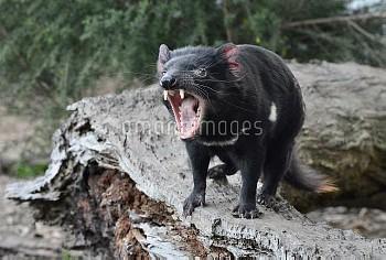 Tasmanian Devil (Sarcophilus harrisii) in defensive threat display, Central Highlands, Tasmania, Aus