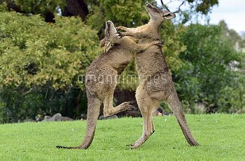 Eastern Grey Kangaroo (Macropus giganteus) males fighting for dominance, northeastern Tasmania, Aust