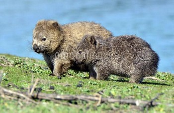 Common Wombat (Vombatus ursinus) mother and joey, Maria Island National Park, Tasmania, Australia