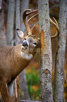 White-tailed Deer (Odocoileus virginianus) buck scent marking tree, North America