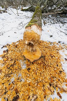 European Beaver (Castor fiber) downed tree in  alder forest in winter, Germany