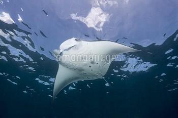 Reef Manta Ray (Manta alfredi) swimming, Nusa Penida, Indonesia