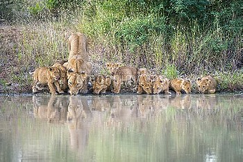 African Lion (Panthera leo) mother and cubs drinking at waterhole, Limpopo, South Africa