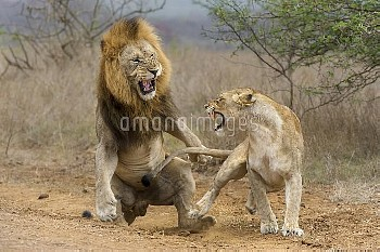 African Lion (Panthera leo) male and female snarling after mating, Phinda Game Reserve, South Africa