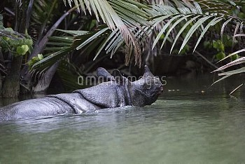 Javan Rhinoceros (Rhinoceros sondaicus) in river, Ujung Kulon National Park, Indonesia