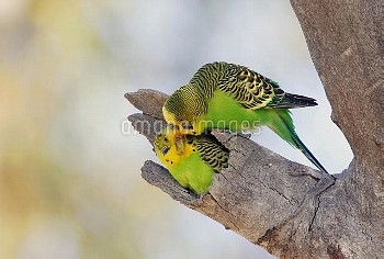 Budgerigar (Melopsittacus undulatus) pair at nest cavity, Queensland, Australia