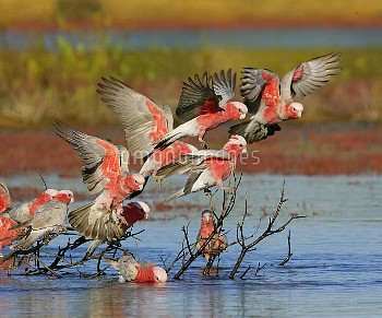 Galah (Eolophus roseicapilla) flock landing at waterhole, New South Wales, Australia