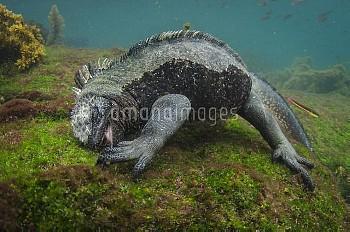 Marine Iguana (Amblyrhynchus cristatus) feeding on algae in water, Fernandina Island, Galapagos Isla