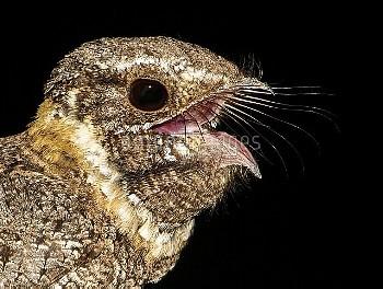Buff-collared Nightjar (Caprimulgus ridgwayi) calling, Arizona
