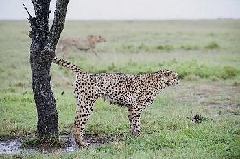 Cheetah (Acinonyx jubatus) male marking tree, Ol Pejeta Conservancy, Laikipia, Kenya