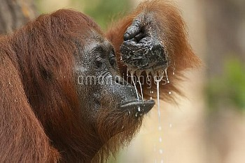 Orangutan (Pongo pygmaeus) sub-adult drinking, Tanjung Puting National Park, Borneo, Indonesia