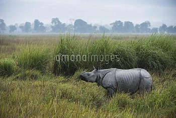 Indian Rhinoceros (Rhinoceros unicornis) in grassland, Kaziranga National Park, India