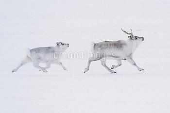 Svalbard Reindeer (Rangifer tarandus platyrhynchus) mother and calf running, Spitsbergen, Svalbard,