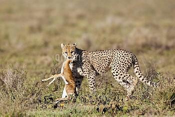 Cheetah (Acinonyx jubatus) carrying Thomson's Gazelle (Eudorcas thomsonii) newborn prey, Ngorongoro