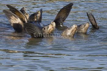 California Sea Lion (Zalophus californianus) group raising flippers to thermoregulate, Monterey Bay,