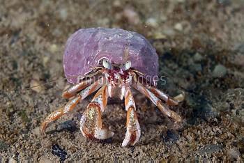 Acadian Hermit Crab (Pagurus acadianus), Bay of Fundy, Maine