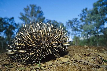 Short-beaked Echidna (Tachyglossus aculeatus) endangered species, in defensive posture, Cania Gorge