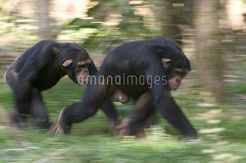 Chimpanzee (Pan troglodytes) pair knuckle-walking, La Vallee Des Singes Primate Center, France