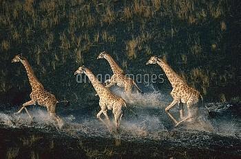 Giraffe (Giraffa camelopardalis) four running across wetland, Okavango Delta, Botswana