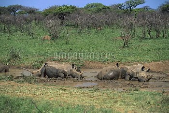 White Rhinoceros (Ceratotherium simum) group wallowing in mud, South Africa