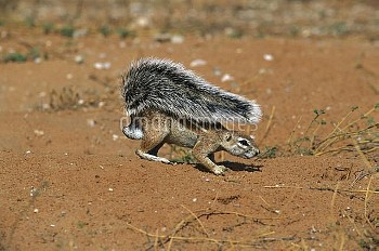 Striped Ground Squirrel (Xerus erythropus) using it's tail as shade, Kgalagadi Transfrontier Park, S