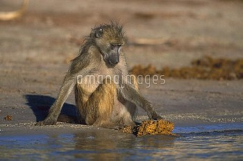 Chacma Baboon (Papio ursinus) foraging for food in elephant dung, Chobe National Park, Botswana