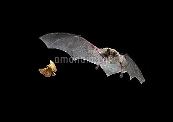 Little Brown Bat (Myotis lucifugus) pursues a forest moth, the mouth is open to allow the bat to ech
