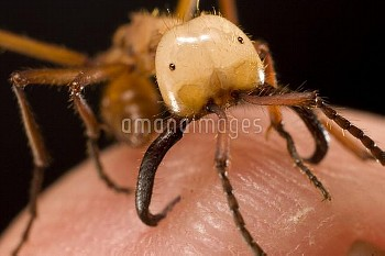Army Ant (Eciton hamatum) major worker biting human. Also called a soldier, its primary job is defen