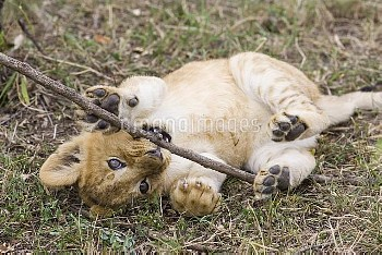 African Lion (Panthera leo) six to seven week old cub playing with stick, vulnerable, Masai Mara Nat