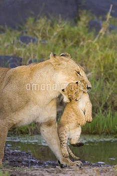 African Lion (Panthera leo) mother carrying five to six week old cub, vulnerable, Masai Mara Nationa